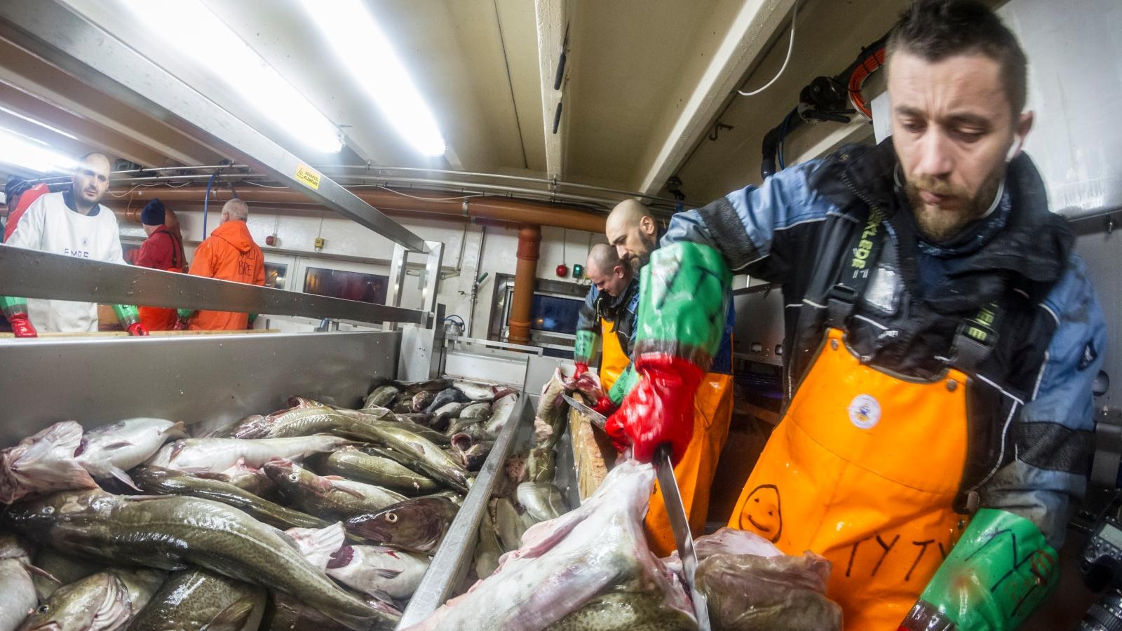 Viktig næring for kysten: Skreien er på vei inn til Vesterålen, til Myre Fiskemottak og Gunnar Klo.